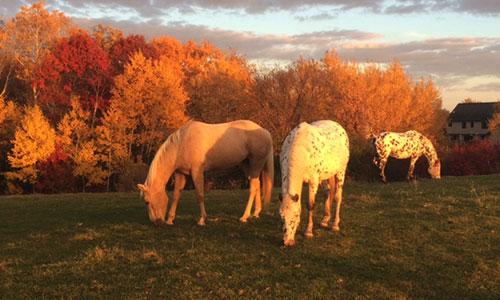 three horses at sunset